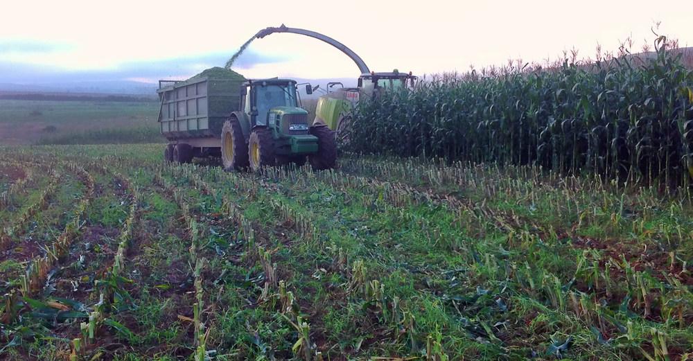 Harvesting Silage 4
