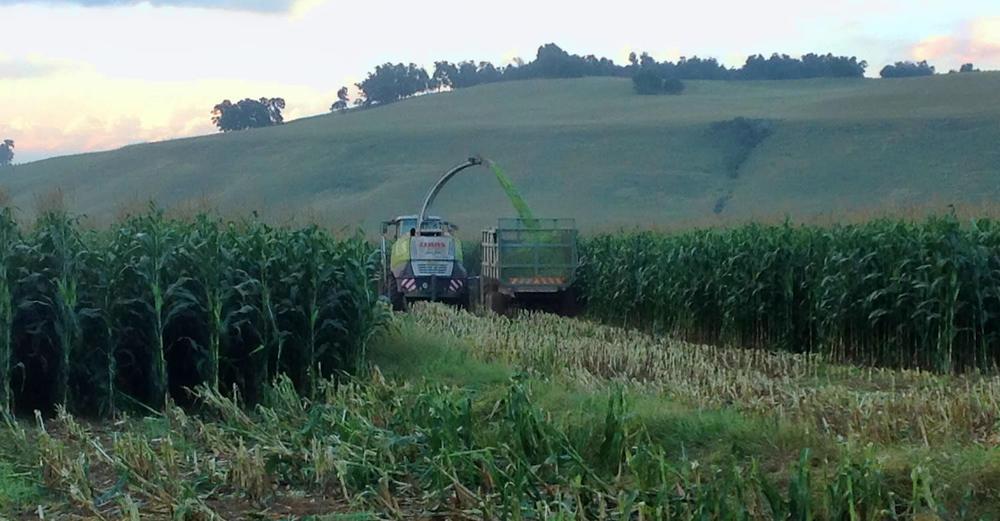 Harvesting Silage 5