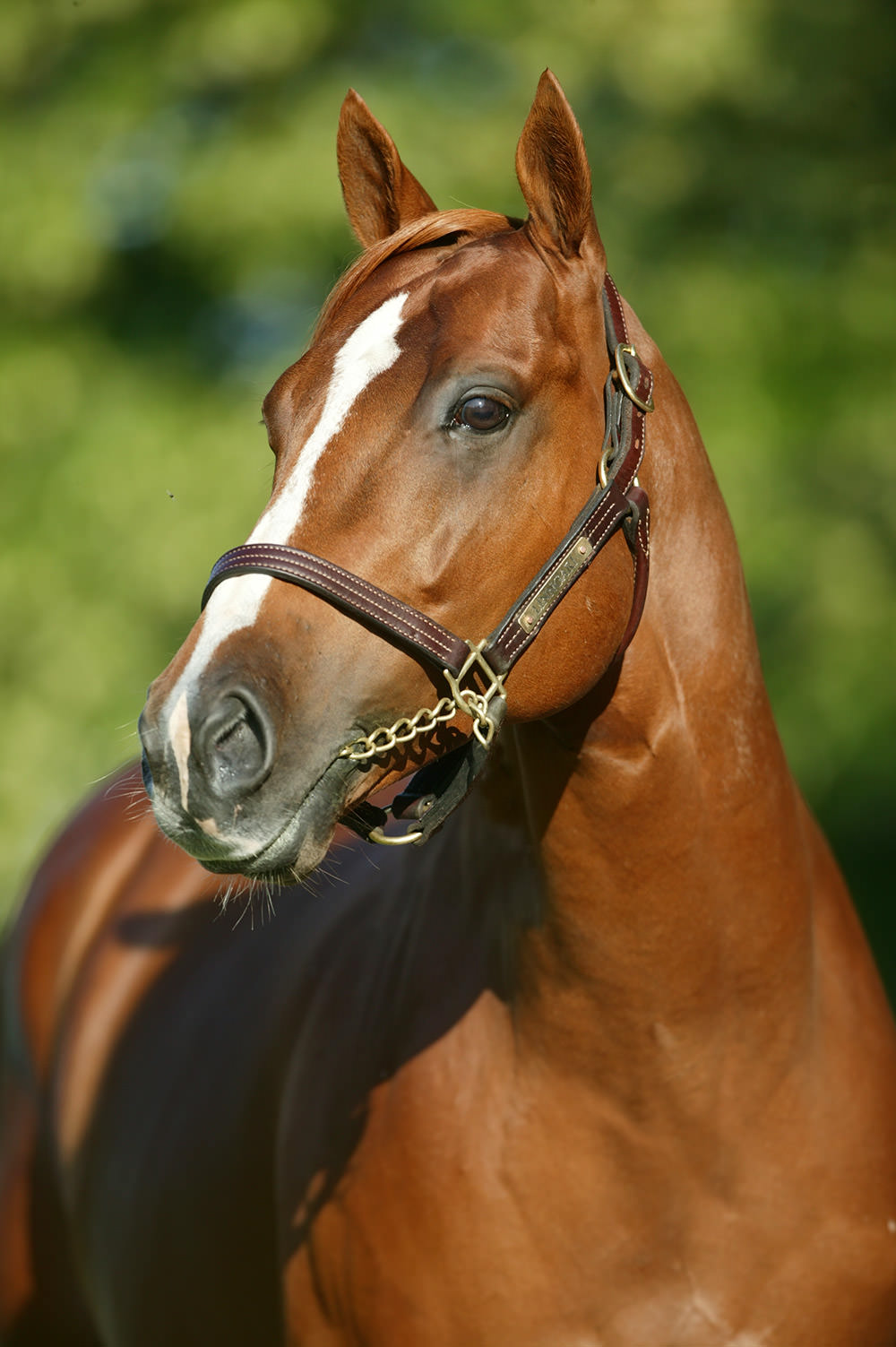 Linngari Stallion