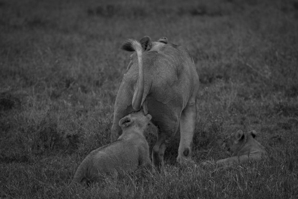 Lions-3824.jpg