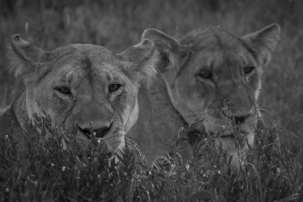 Lions-3695.jpg