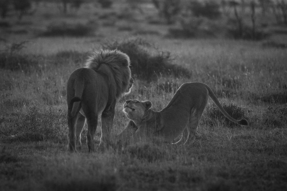 Lions-2422.jpg