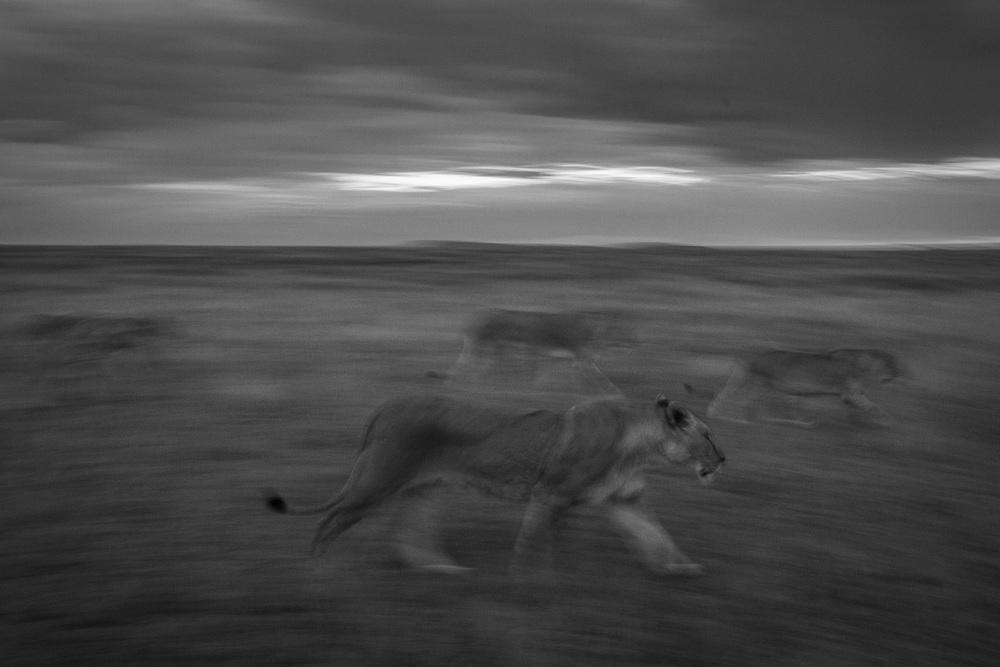 Lions-3488.jpg