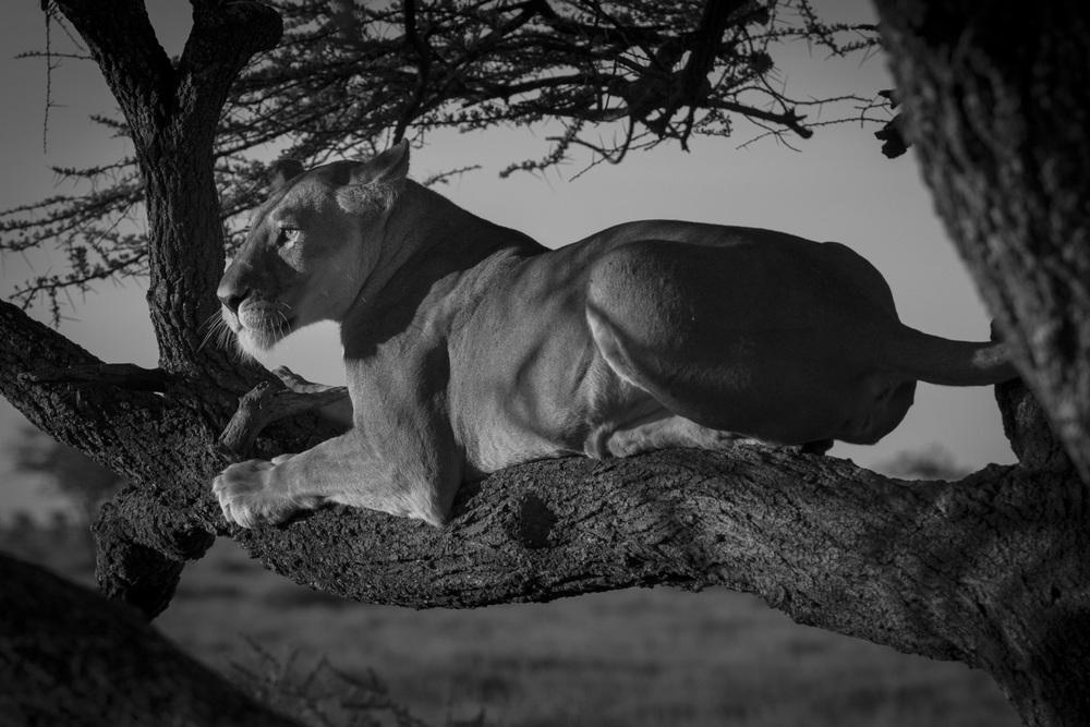 Lions-2333.jpg