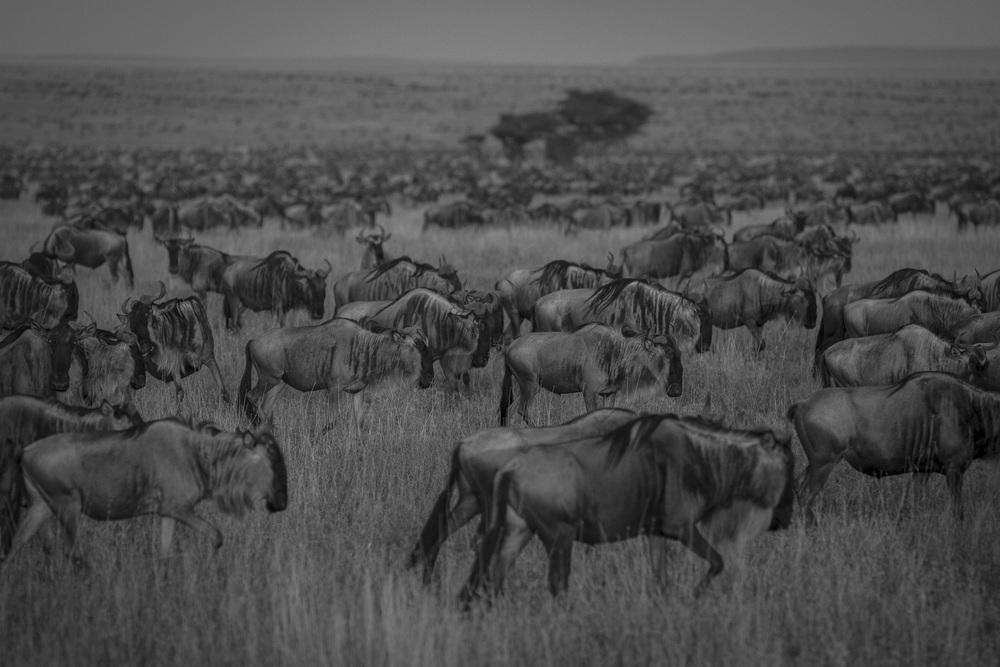 Wildebeest migration, Serengeti, N.P.