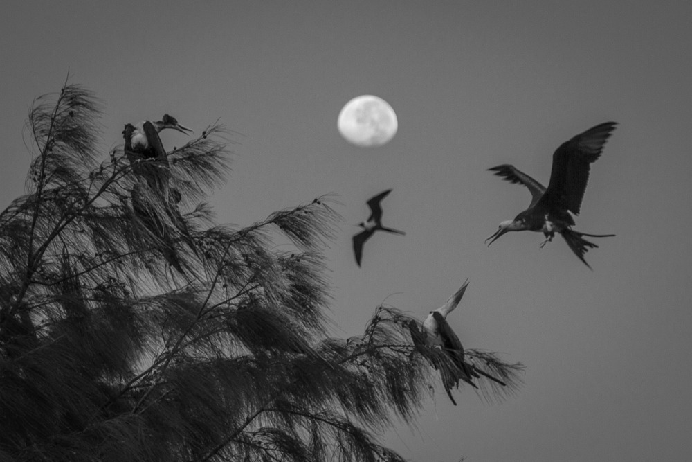 Frigate birds roosting