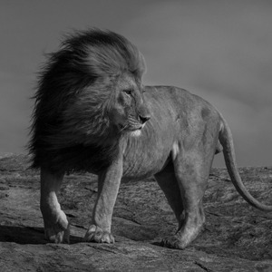 PHOTOGRAPHY    Serengeti lions