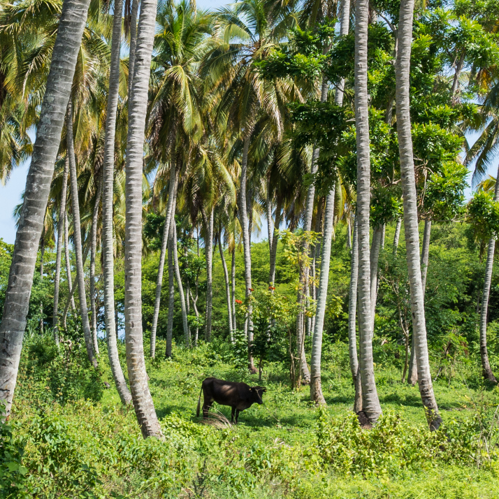 Believe it or not, farmers planted corn and coffee beans in and around this grove of palms.