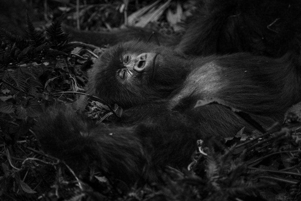 Member of the Amahoro mountain gorilla family sleeps in the jungle near the border between Democratic Republic of Congo and Rwanda.