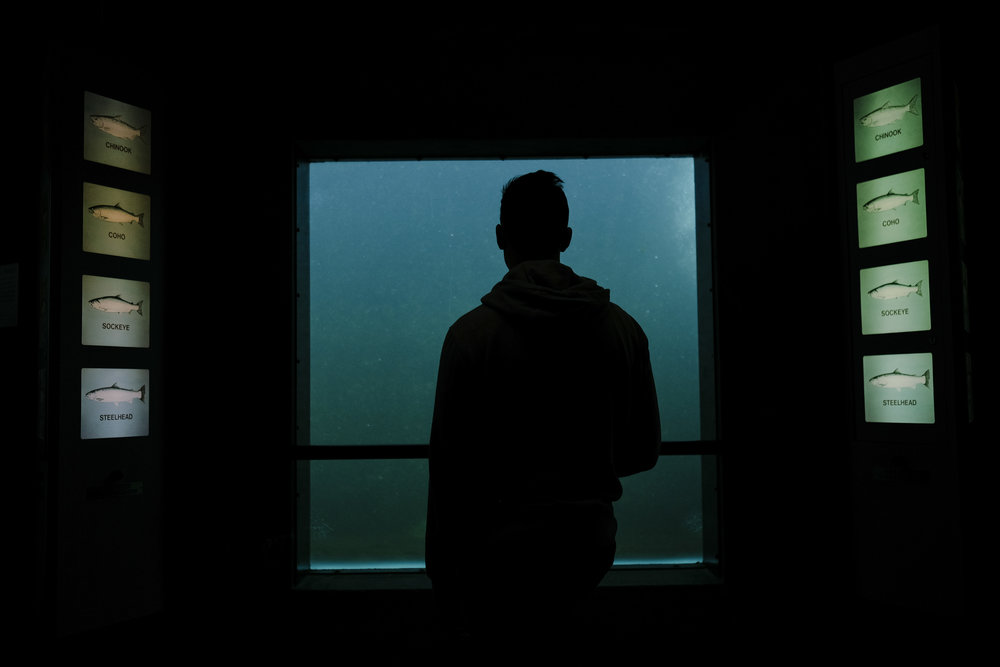 Otto waiting for the salmon to swim by the glass window. Ballard Locks, USA.
