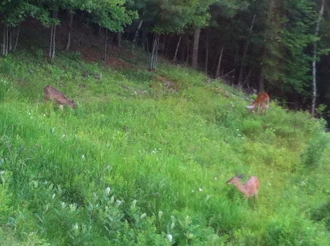 Thetford_Deer
