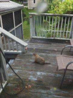 Wide_Groundhog