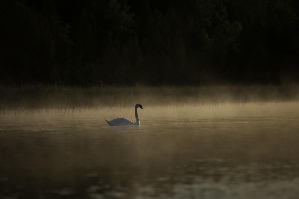 Swan Stalking 19.jpg