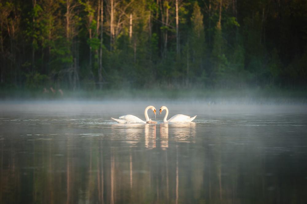 Swan Stalking 22.jpg