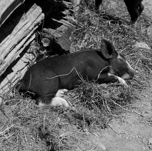 resting piglet