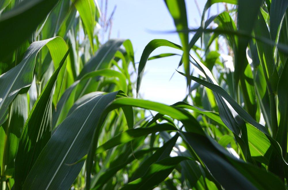 gmo corn crop
