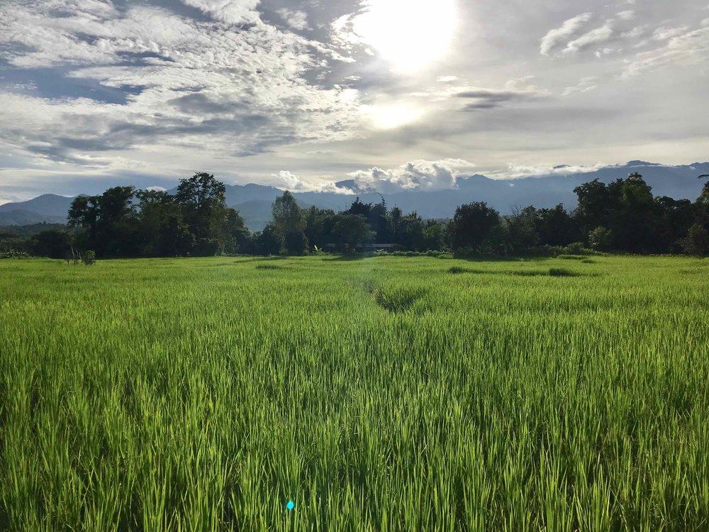 Rice fields in Northeastern Thailand