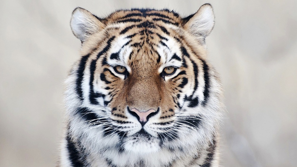 Tiger-Face-Pictures-Download-Cute-Animal-Wallpaper-Tiger-Face-Pictures.jpg