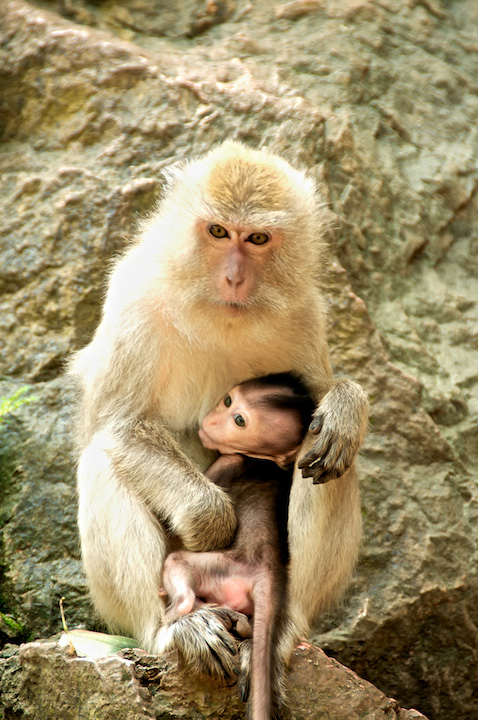 monkey singe thailand baby mother bebe mere protection.jpg