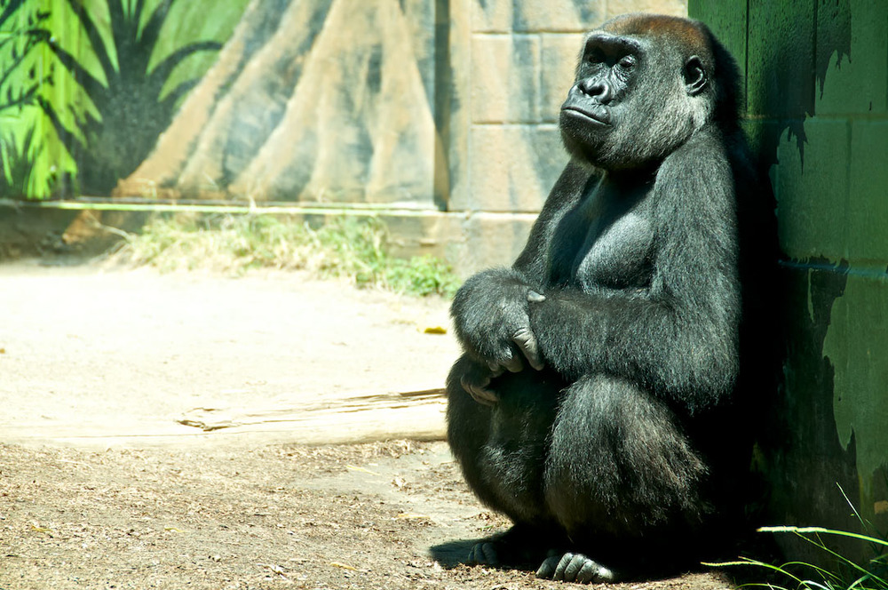 gorilla gorille zoo nature black monkey singe sadness san diego ca california usa.jpg