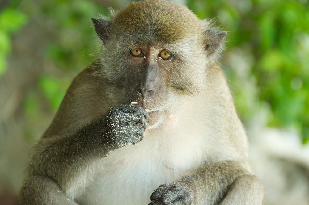 monkey singe thailand vert nature plage sable regard look.jpg