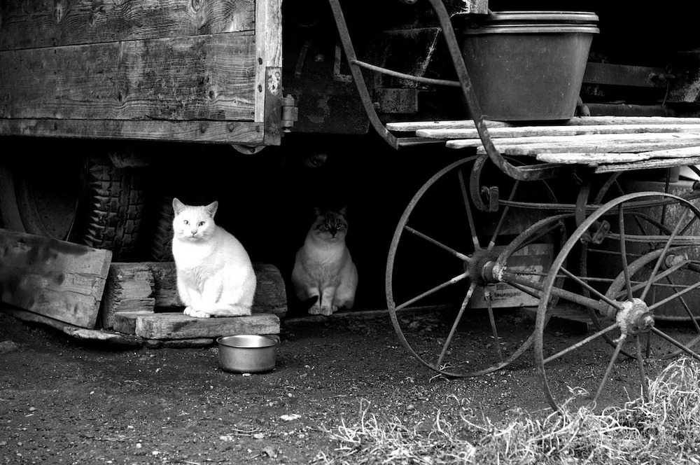 cats black white noir et blanc albertville vintage.jpg