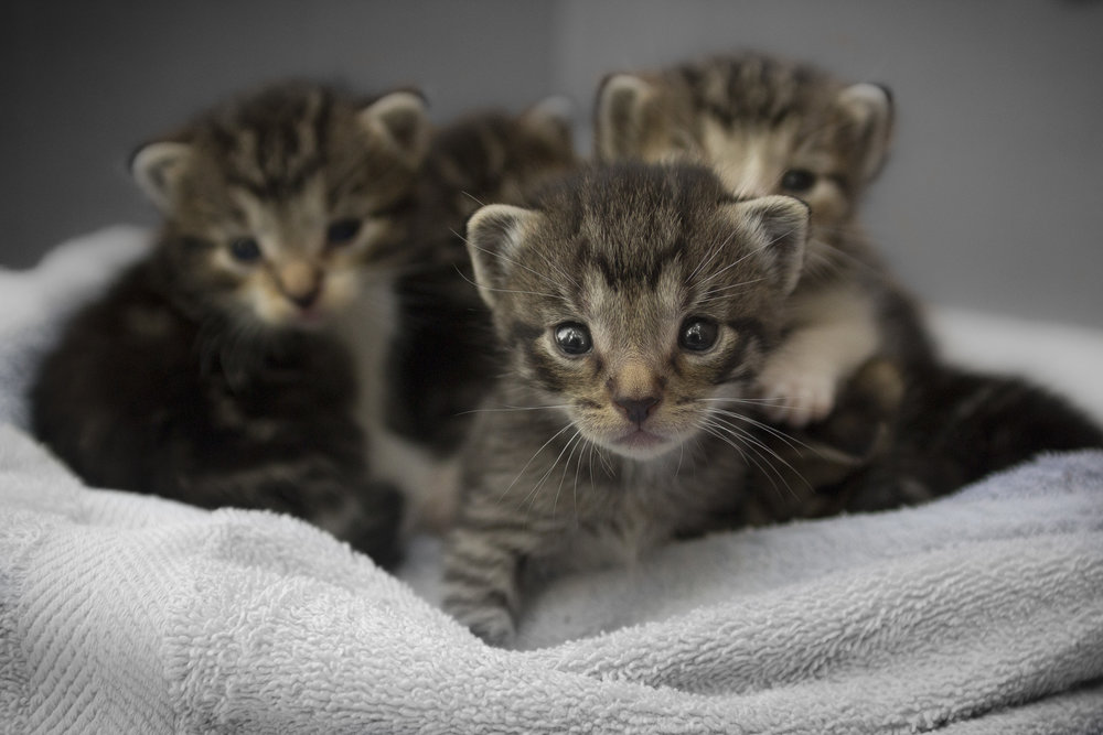 Kittens kittens kittens! During much of the year, the shelter has too many kittens to house. Fostering is key to saving these little lives.
