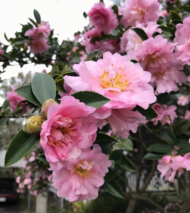 Christmas camellias 🌸