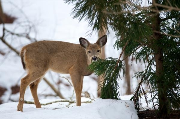 Bambi's not so cute when he's eating YOUR vegetation.
