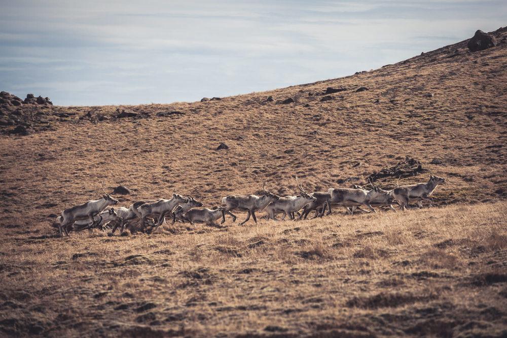 A herd of reindeer roam the hills of East Iceland.