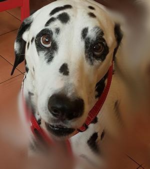 dalmatian portrait.png