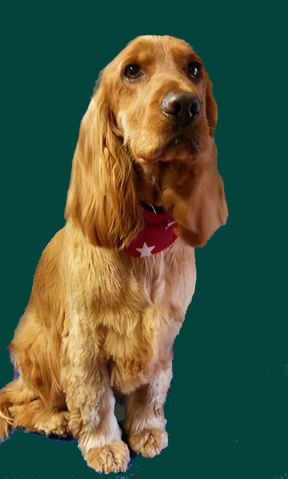 Paint a dog portrait in oils how to choose a background - Free cocker spaniel screensavers ...