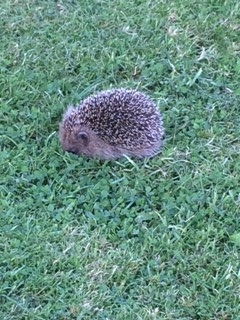 One of our hedgehogs