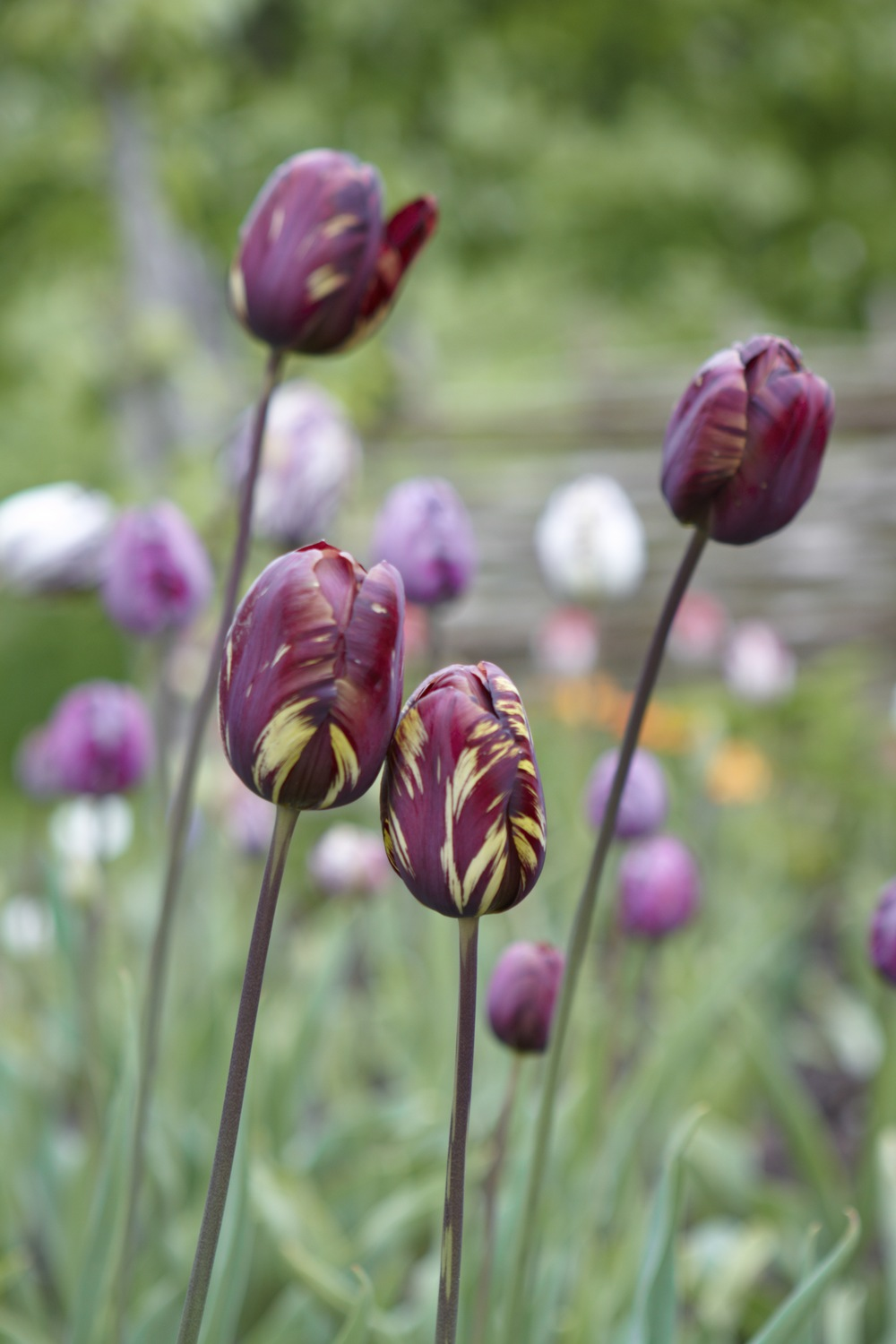 tulip absalon by Britt Willoughby-Dyer