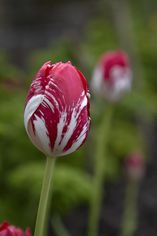 Tulip Mabel.jpg