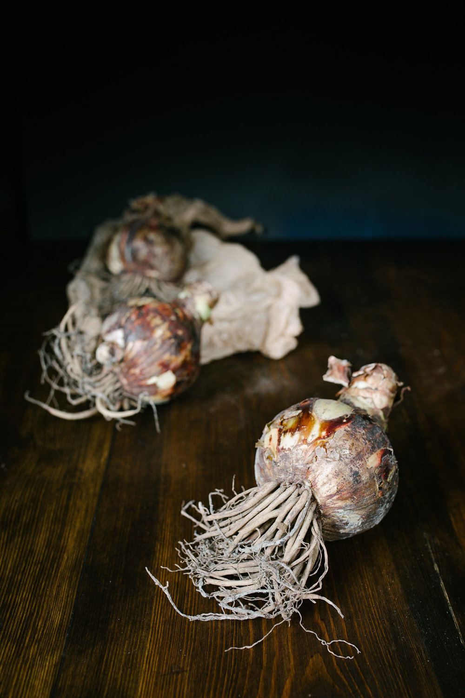 Amaryllis by  Melissa Love