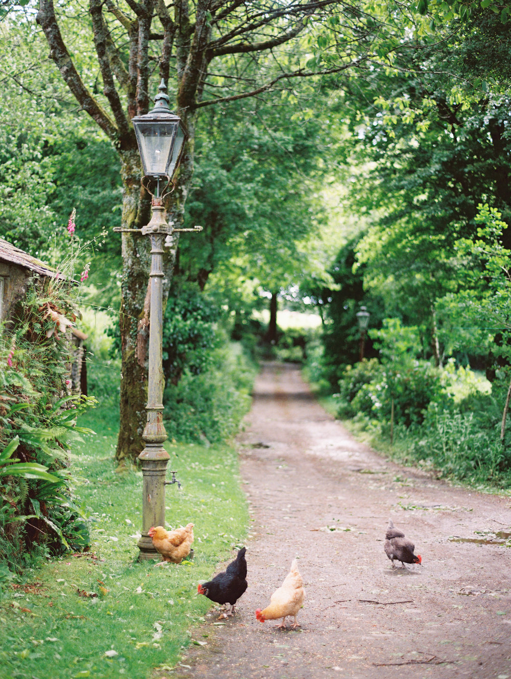 Farm Lane & Chickens