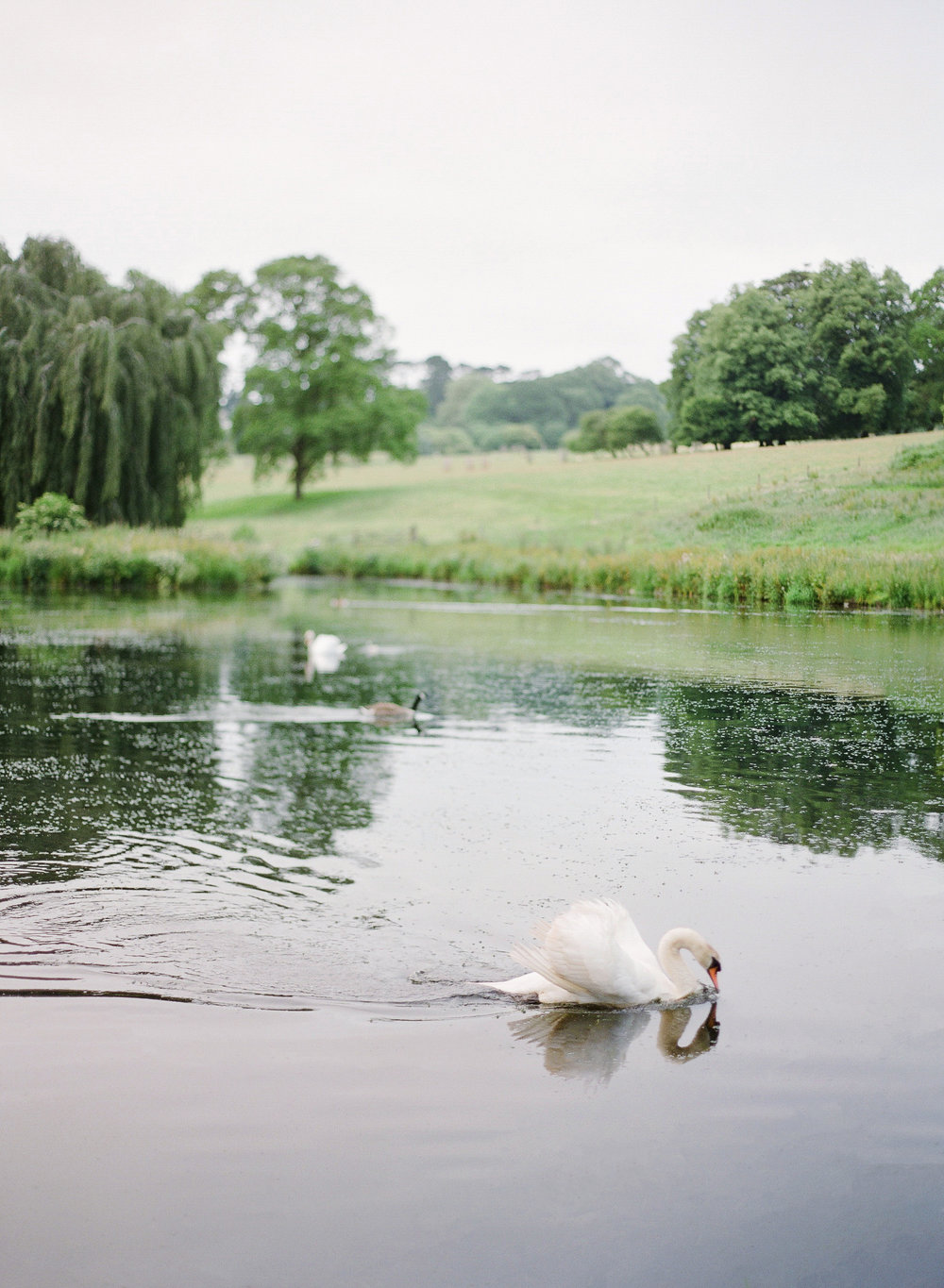 Swans on the lake at Boconnoc