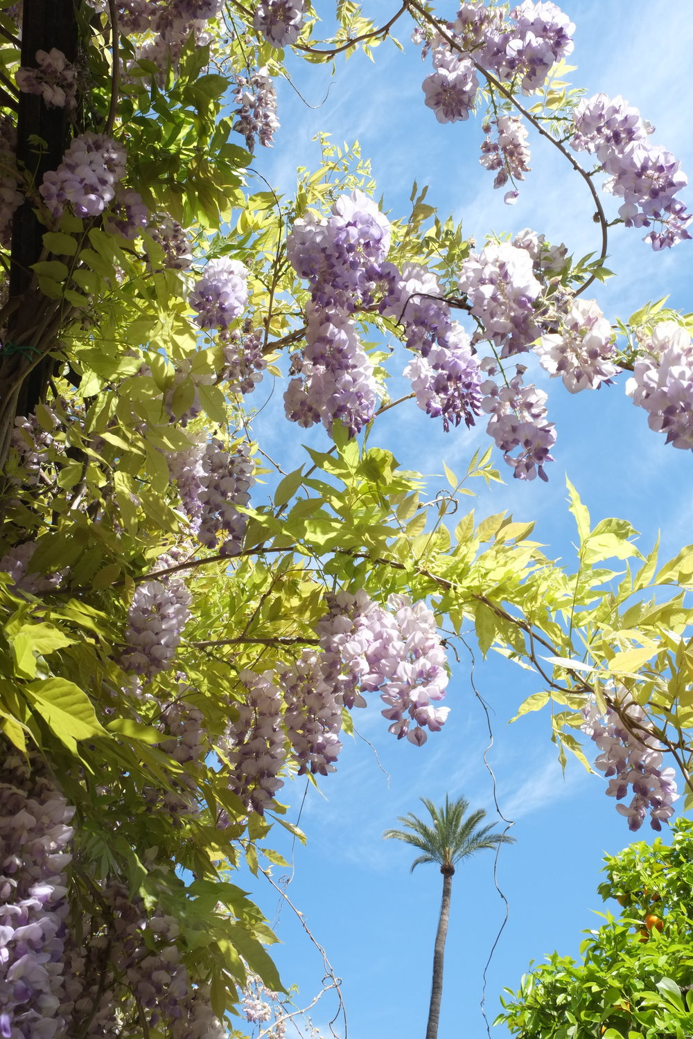 Wisteria at Real Alcazar