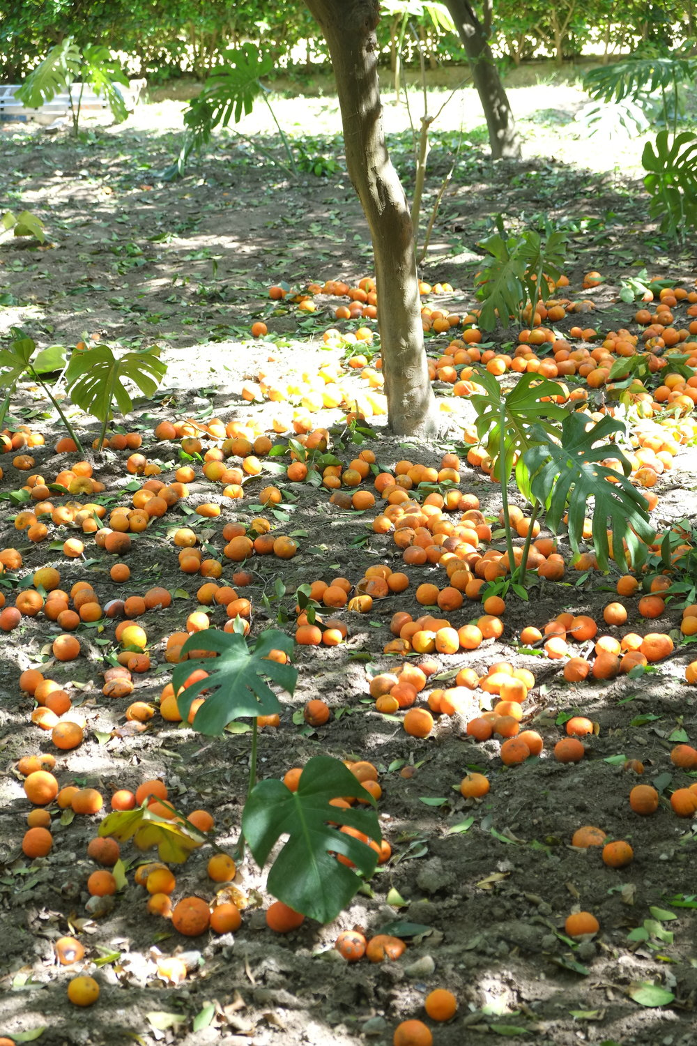 Oranges of Seville