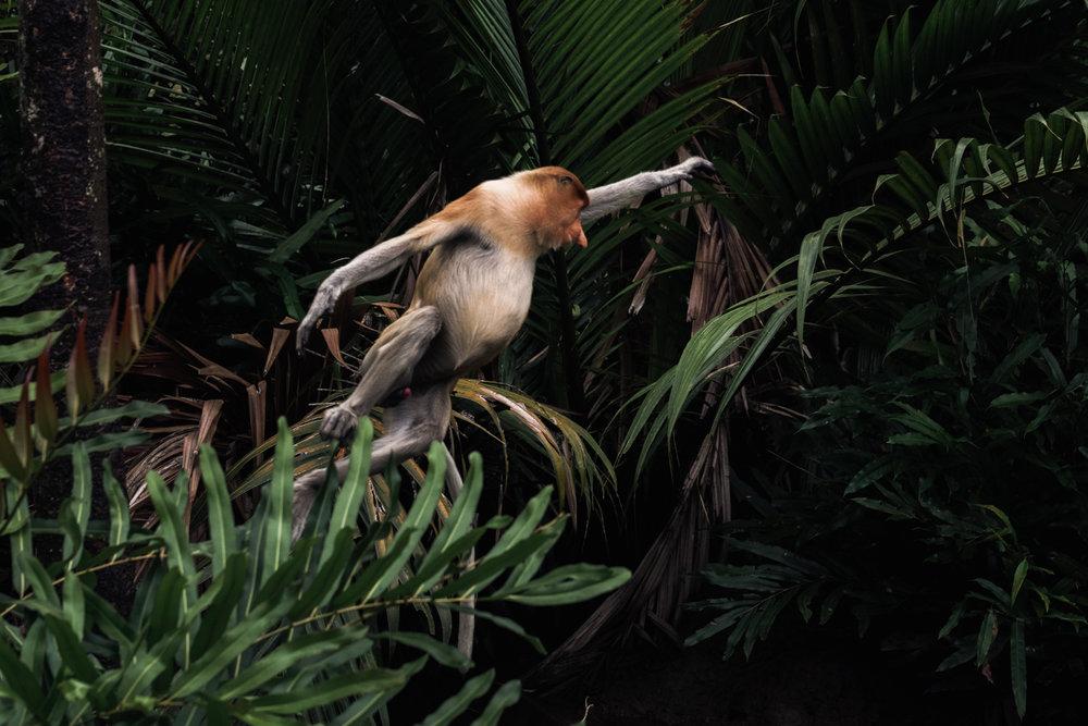 A Proboscis monkey, Labuk Bay.