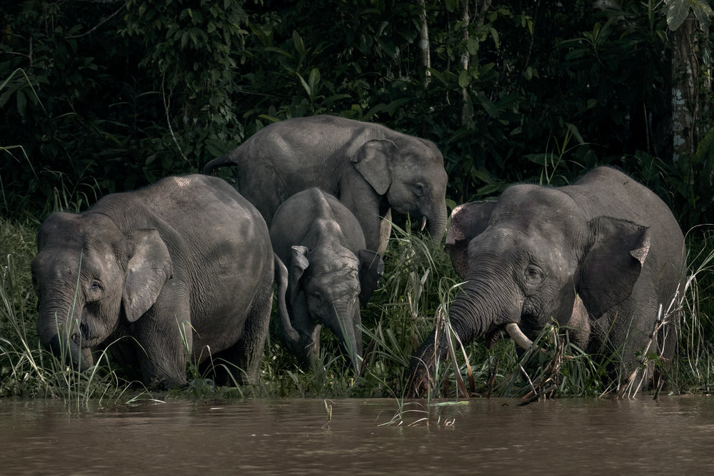 Pygmy Elephants on the banks of the Kinabatangan River.