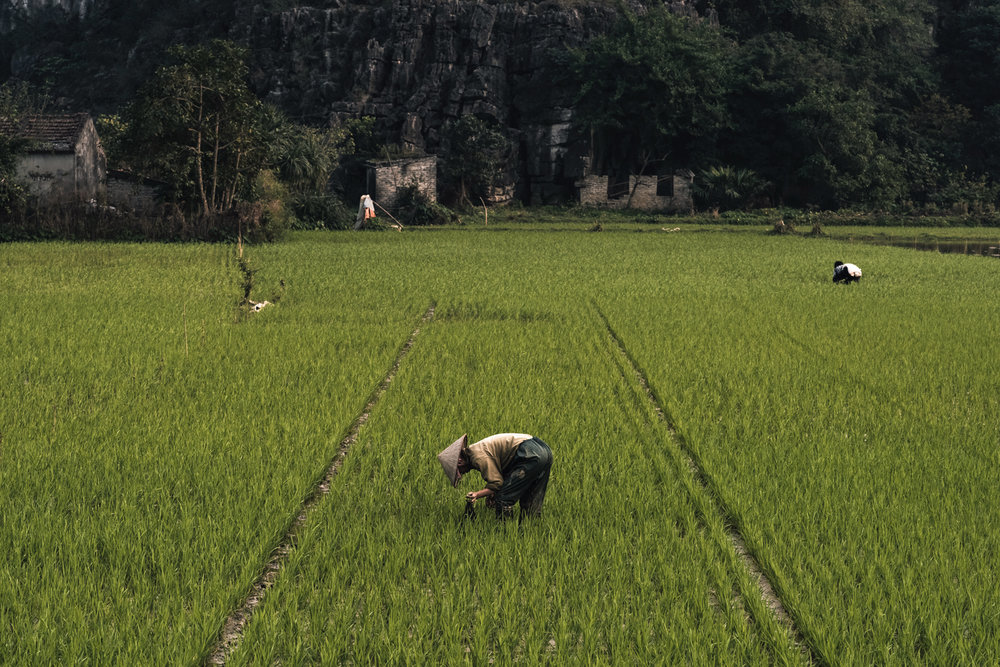 Workers attending to the rice fields in Tam Coc.