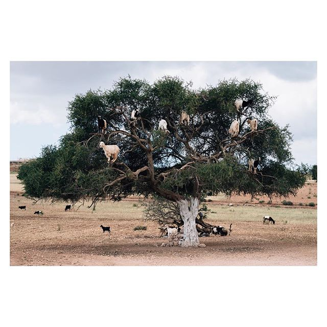 Currently back out in Morocco for a few new bits. Whilst moving between Marrakech and Essaouira today, we stopped off to see some goats in a tree. As one does.