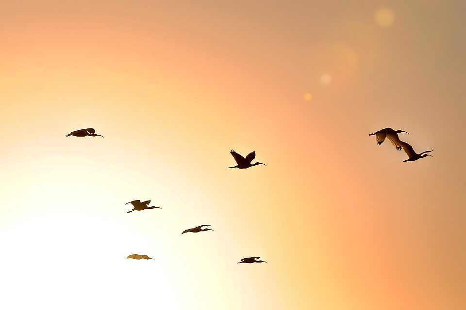 Ibis Flock at Sunset