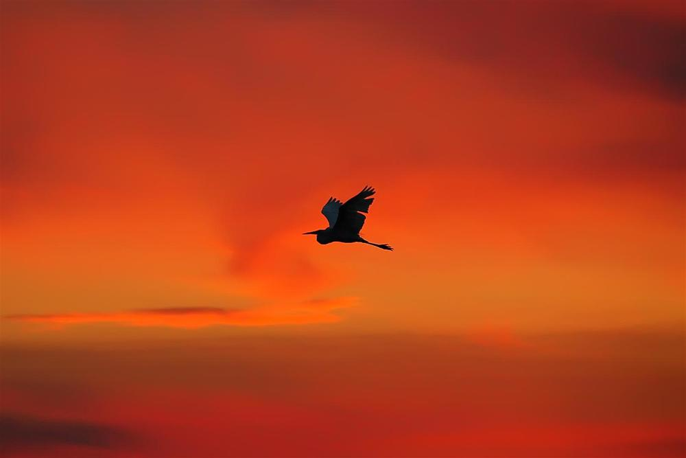 Heron Flying Sunset