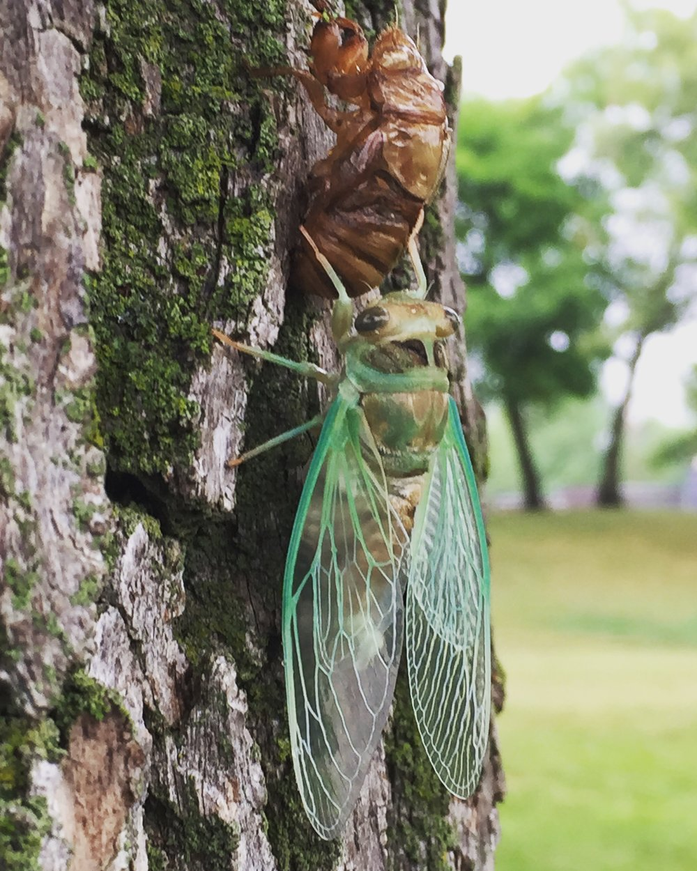 cicada remerging  by william waltz