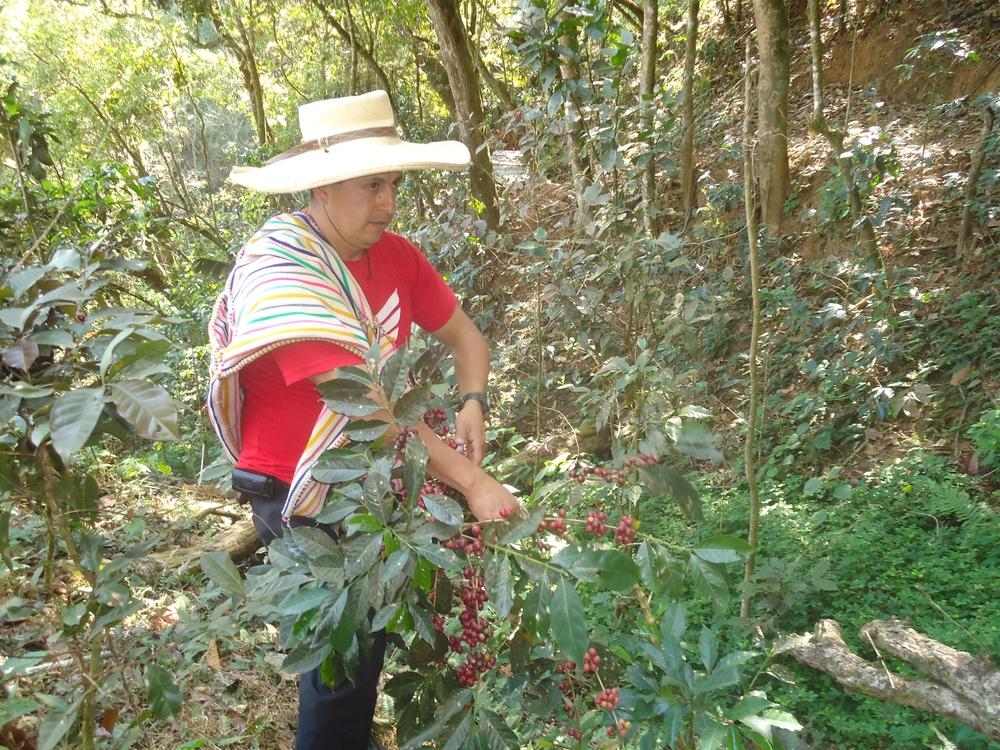 Leodan Ríos, an ACOPOC member, picking his 2013 crop.