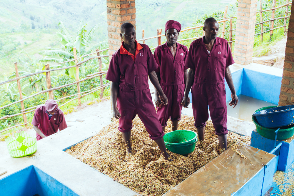 Employees standing in the pulped parchment coffee during the dry fermentation process.