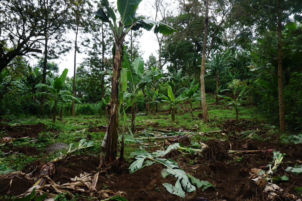 Our 2015 premium has sparked renewed hope for specialty coffee production. Most notably, we saw new areas where formerly only bananas grew being cleared for more coffee production.